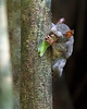 """This photograph of a Tarsier attacking a Katydid was captured in Tangkoko National Park in Sulawesi, Indonesia (5/13).  <FONT COLOR=""""RED""""><h5>This photograph is protected by the U.S. Copyright Laws and shall not to be downloaded or reproduced by any means without the formal written permission of Ken Conger Photography.<FONT COLOR=""""RED""""></h5>"""