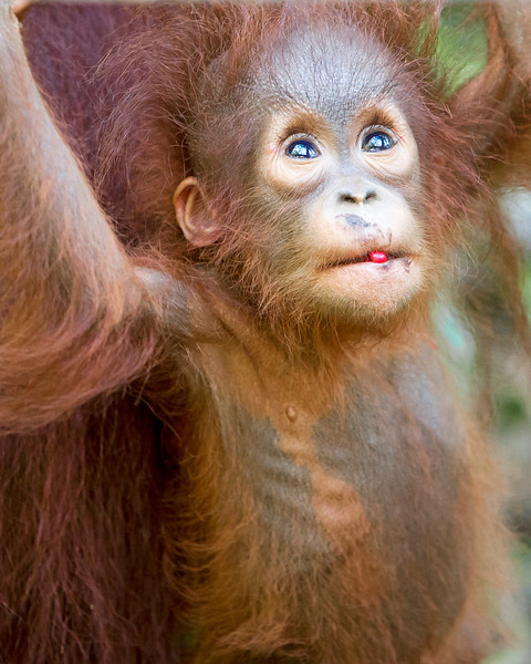 This photograph of a Bornean Orangutan baby, looking up into the jungle, berry in the mouth, was captured in Tanjung Puting National Park in Borneo, Indonesia (5/13).  This photograph is protected by the U.S. Copyright Laws and shall not to be downloaded or reproduced by any means without the formal written permission of Ken Conger Photography.