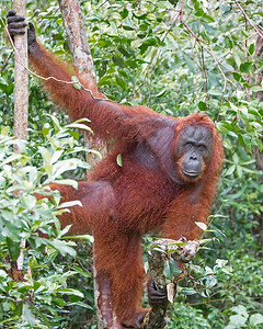This photograph of a Bornean Orangutan was captured in Tanjung Puting National Park in Borneo, Indonesia (5/13).  This photograph is protected by the U.S. Copyright Laws and shall not to be downloaded or reproduced by any means without the formal written permission of Ken Conger Photography.