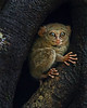 """This photograph of a Tarsier was captured in Tangkoko National Park in Sulawesi, Indonesia (5/13).  <FONT COLOR=""""RED""""><h5>This photograph is protected by the U.S. Copyright Laws and shall not to be downloaded or reproduced by any means without the formal written permission of Ken Conger Photography.<FONT COLOR=""""RED""""></h5>"""