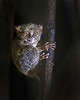 "This photograph of a Tarsier was captured in Tangkoko National Park in Sulawesi, Indonesia (5/13).  <FONT COLOR=""RED""><h5>This photograph is protected by the U.S. Copyright Laws and shall not to be downloaded or reproduced by any means without the formal written permission of Ken Conger Photography.<FONT COLOR=""RED""></h5>"