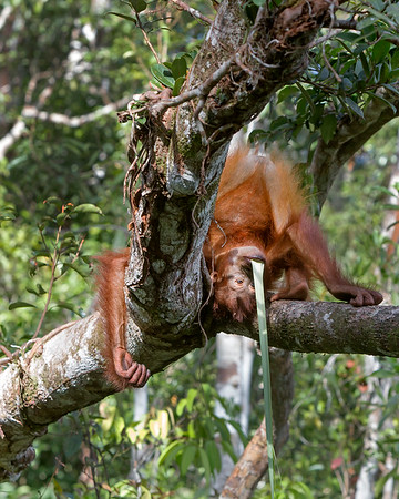 This photograph of a Bornean Orangutan baby upside down with vegetation in it's mouth, was captured in Tanjung Puting National Park in Borneo, Indonesia (5/13).  This photograph is protected by the U.S. Copyright Laws and shall not to be downloaded or reproduced by any means without the formal written permission of Ken Conger Photography.
