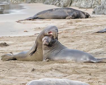 Elephant Seals in Big Sur, Califormia