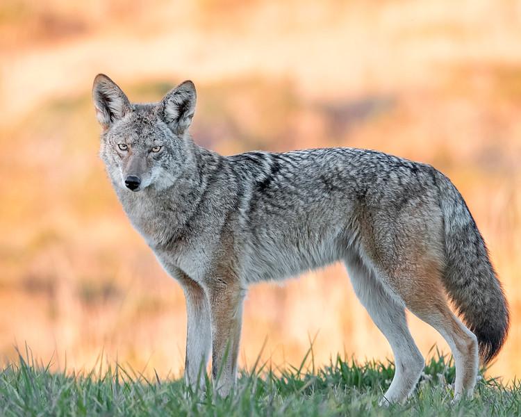 Coyote in Point Reyes National Seashore, Califormia