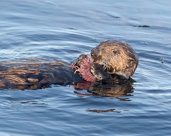Sea Otter eating sea urchin in Monterey, Califormia