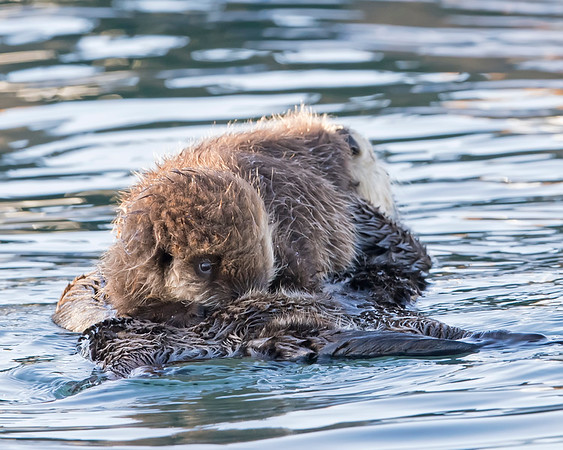 Sea Otter and pup in Morro Bay, Califormia