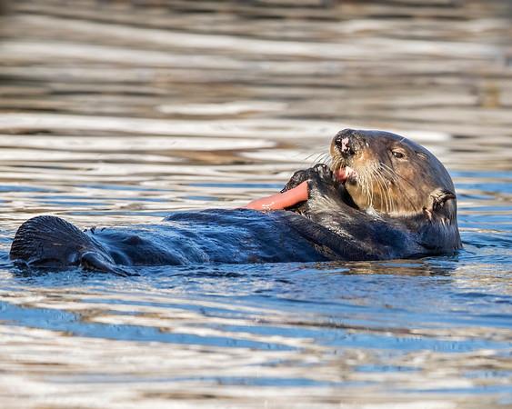 Sea Otter eating fat innkeeper in Monterey, Califormia