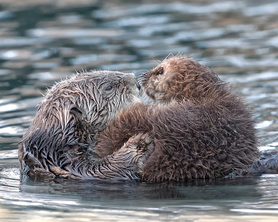 Sea Otter and pup in Morro Bay, Califormia
