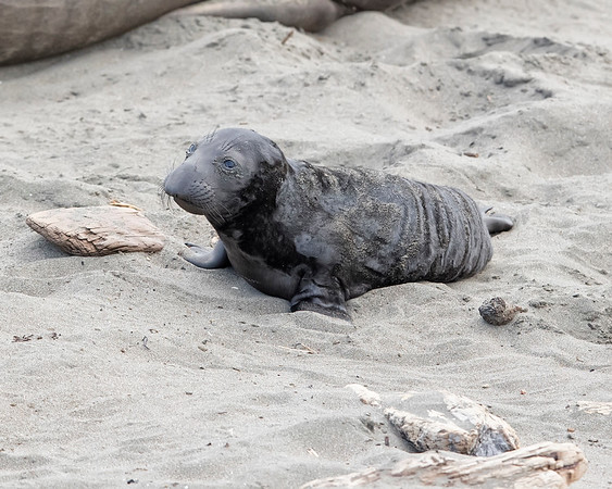 Elephant Seal in Big Sur, California