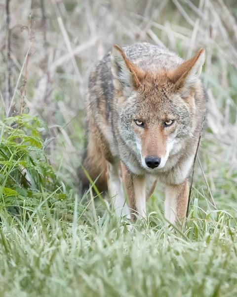 Coyote in Point Reyes National Seashore,  California