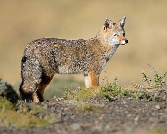 This photograph of a Patagonian Fox or Culpeo was captured within Torres del Paine National Park in Patagonia, Chile (4/15). This photograph is protected by International and U.S. Copyright Laws and shall not to be downloaded or reproduced by any means without the formal written permission of Ken Conger Photography.