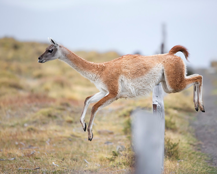 This photograph of a Guanaco was captured within Torres del Paine National Park in Patagonia, Chile (4/15). This photograph is protected by International and U.S. Copyright Laws and shall not to be downloaded or reproduced by any means without the formal written permission of Ken Conger Photography.