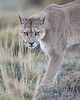 "This photograph of a Puma was captured within Torres del Paine National Park in Patagonia, Chile (4/15). <FONT COLOR=""RED""><h5>This photograph is protected by International and U.S. Copyright Laws and shall not to be downloaded or reproduced by any means without the formal written permission of Ken Conger Photography.<FONT COLOR=""RED""></h5>"