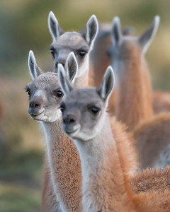 This photograph of a group of Guanacos was captured within Torres del Paine National Park in Patagonia, Chile (4/15). This photograph is protected by International and U.S. Copyright Laws and shall not to be downloaded or reproduced by any means without the formal written permission of Ken Conger Photography.
