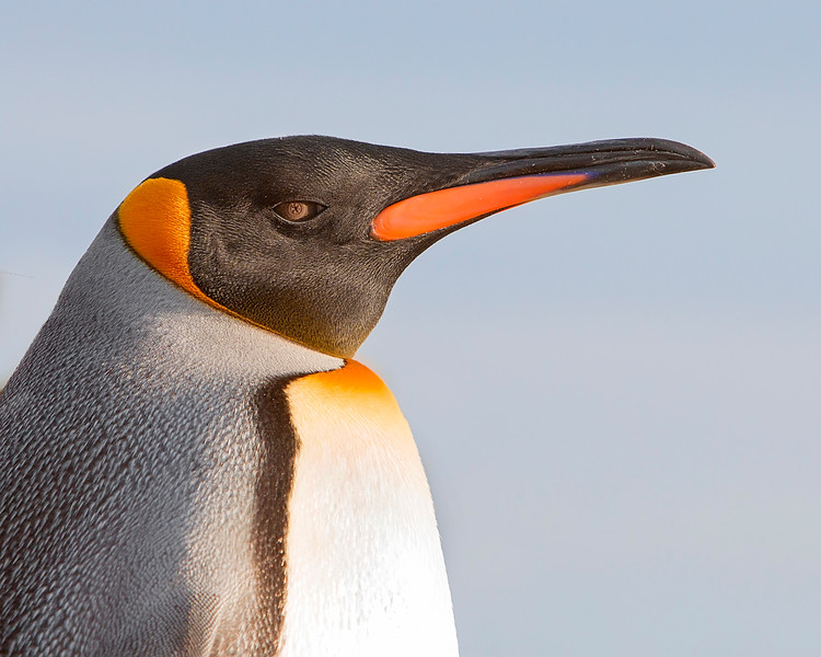 This photograph of a King Penguin was captured within Parque Pinguino Rey (King Penguin Park) in Tierra del Fuego portion of Patagonia, Chile (4/15). This photograph is protected by International and U.S. Copyright Laws and shall not to be downloaded or reproduced by any means without the formal written permission of Ken Conger Photography.