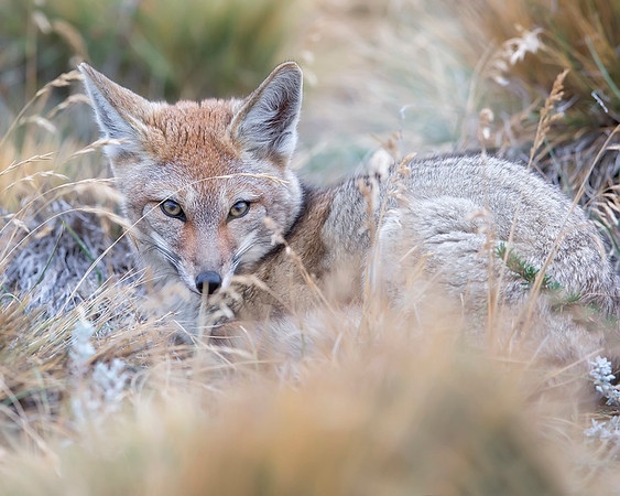 This photograph of Patagonian Fox or Culpeo was captured within Parque Pinguino Rey (King Penguin Park) in Tierra del Fuego portion of Patagonia, Chile (4/15). This photograph is protected by International and U.S. Copyright Laws and shall not to be downloaded or reproduced by any means without the formal written permission of Ken Conger Photography.