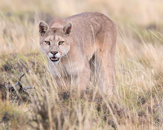 This photograph of a Puma was captured within Torres del Paine National Park in Patagonia, Chile (4/15). This photograph is protected by International and U.S. Copyright Laws and shall not to be downloaded or reproduced by any means without the formal written permission of Ken Conger Photography.