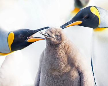 This photograph of King Penguins was captured within Parque Pinguino Rey (King Penguin Park) in Tierra del Fuego portion of Patagonia, Chile (4/15). This photograph is protected by International and U.S. Copyright Laws and shall not to be downloaded or reproduced by any means without the formal written permission of Ken Conger Photography.