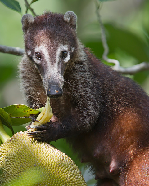 This photograph of a Coati was captured in Costa Rica (4/12).   This photograph is protected by the U.S. Copyright Laws and shall not to be downloaded or reproduced by any means without the formal written permission of Ken Conger Photography.