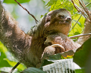 This Three-toed Sloth and baby photograph was captured in Costa Rica (4/12).   This photograph is protected by the U.S. Copyright Laws and shall not to be downloaded or reproduced by any means without the formal written permission of Ken Conger Photography.