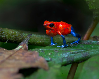 This Blue-jeans or Strawberry Poison-dart Frog photograph was captured in Costa Rica (4/12).   This photograph is protected by the U.S. Copyright Laws and shall not to be downloaded or reproduced by any means without the formal written permission of Ken Conger Photography.