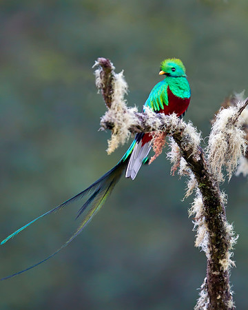 This Resplendent Quetzal photograph was captured in San Gerardo de Dota, Costa Rica (4/12) and is one of the most magnificent birds I have ever photographed.   This photograph is protected by the U.S. Copyright Laws and shall not to be downloaded or reproduced by any means without the formal written permission of Ken Conger Photography.