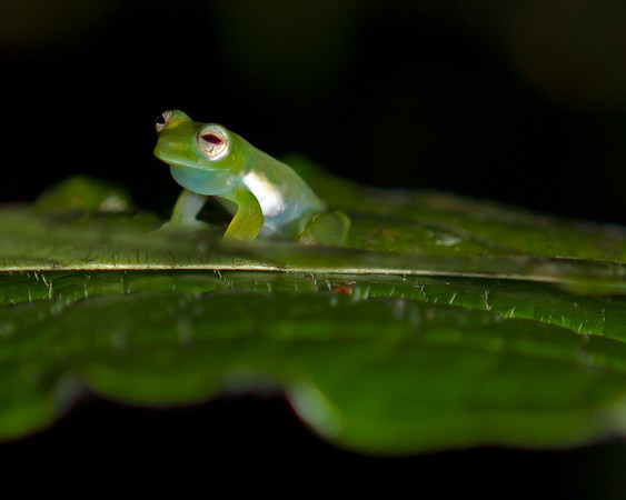 This night photograph of a Glass Frog was captured in Costa Rica (4/12).   This photograph is protected by the U.S. Copyright Laws and shall not to be downloaded or reproduced by any means without the formal written permission of Ken Conger Photography.