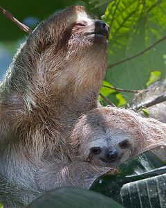 This photograph of a Three-toed Sloth mother and smiling baby was captured in Costa Rica (4/12).   This photograph is protected by the U.S. Copyright Laws and shall not to be downloaded or reproduced by any means without the formal written permission of Ken Conger Photography.