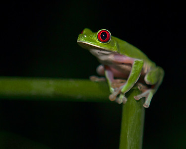 This night photograph of a Red-Eyed Green Tree Frog was captured in Costa Rica (4/12).   This photograph is protected by the U.S. Copyright Laws and shall not to be downloaded or reproduced by any means without the formal written permission of Ken Conger Photography.