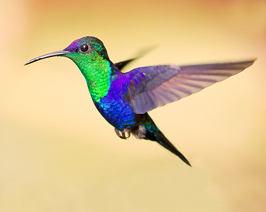 This photograph of a Violet-crowned Woodnymph Hummingbird was captured in Costa Rica (4/12).   This photograph is protected by the U.S. Copyright Laws and shall not to be downloaded or reproduced by any means without the formal written permission of Ken Conger Photography.