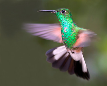 This photograph of a Stripe-tailed Hummingbird was captured in Costa Rica (4/12).   This photograph is protected by the U.S. Copyright Laws and shall not to be downloaded or reproduced by any means without the formal written permission of Ken Conger Photography.