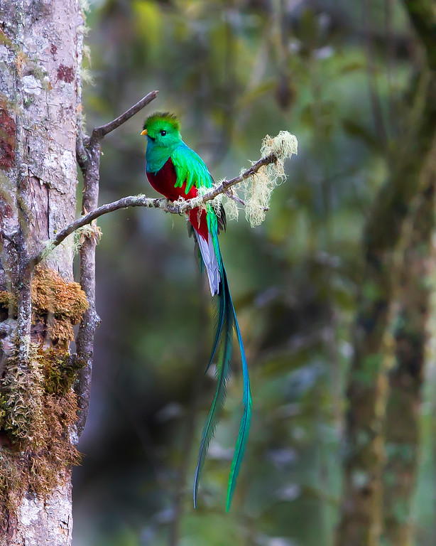 This Resplendent Quetzal photograph was captured in Costa Rica (4/12) and is the most magnificent bird I have ever photographed.   This photograph is protected by the U.S. Copyright Laws and shall not to be downloaded or reproduced by any means without the formal written permission of Ken Conger Photography.