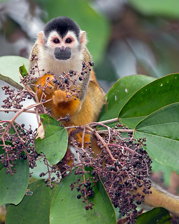 This photograph of a Squirrel Monkey was captured in Costa Rica (4/12).   This photograph is protected by the U.S. Copyright Laws and shall not to be downloaded or reproduced by any means without the formal written permission of Ken Conger Photography.