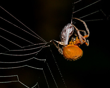 This night photograph of a spider covering its prey with a jet stream of silken thread from its abdomen was captured in Costa Rica (4/12).   This photograph is protected by the U.S. Copyright Laws and shall not to be downloaded or reproduced by any means without the formal written permission of Ken Conger Photography.