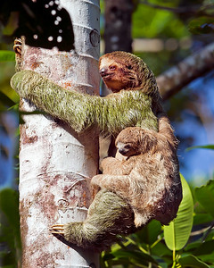 This climbing Three-toed Sloth and baby photograph was captured in Costa Rica (4/12).   This photograph is protected by the U.S. Copyright Laws and shall not to be downloaded or reproduced by any means without the formal written permission of Ken Conger Photography.