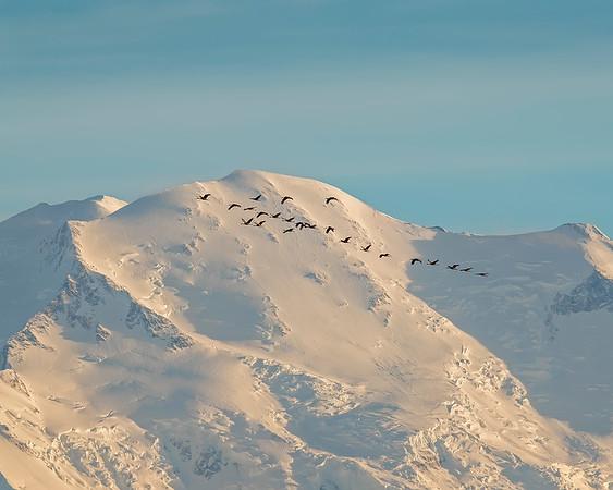 Sandhill Crane flock in front of Denali