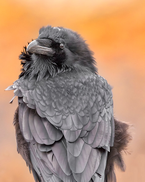 This Raven photograph was captured in Denali National Park, Alaska, USA  (9/16). This photograph is protected by International and U.S. Copyright Laws and shall not to be downloaded or reproduced by any means without the formal written permission of Ken Conger Photography.