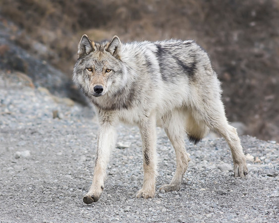Fortunate to photograph this Wolf close to the road on the Denali Park Road in Denali National Park.  He was hunting along a river bottom and lucky for us came up the hill to our location.  After giving us a look he and another wolf who came out of the bottom as well began to hunt snowshoe hares.  Awesome to witness raw nature so close (5/09).  This photograph is protected by the U.S. Copyright Laws and shall not to be downloaded or reproduced by any means without the formal written permission of Ken Conger Photography.