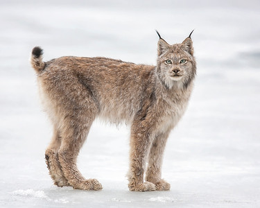 I have been blessed with a number of incredible wildlife experiences in my life, seeing this Lynx was in the top 10.  It is a special experience to see one, let alone photograph it at such a close proximity. The Lynx photograph was captured in Denali National Park, Alaska (5/10).     This photograph is protected by the U.S. Copyright Laws and shall not to be downloaded or reproduced by any means without the formal written permission of Ken Conger Photography.