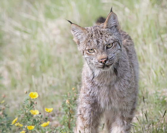 This photograph of a Lynx, who was one of a pair, was captured when they were seen hunting for hares near the Savage River Bottom area of Denali National Park in Alaska.  He has his head cocked and an intent stare when examining the willows for potential prey (6/09).  This photograph is protected by the U.S. Copyright Laws and shall not to be downloaded or reproduced by any means without the formal written permission of Ken Conger Photography.