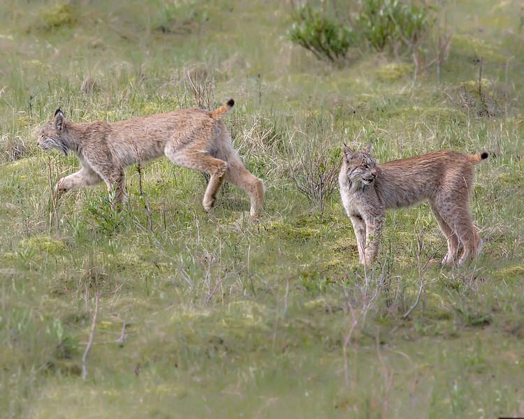 This photograph of a pair of Lynxes was captured when they were seen hunting for hares near the Savage River Bottom area of Denali National Park in Alaska (6/09).  This photograph is protected by the U.S. Copyright Laws and shall not to be downloaded or reproduced by any means without the formal written permission of Ken Conger Photography.