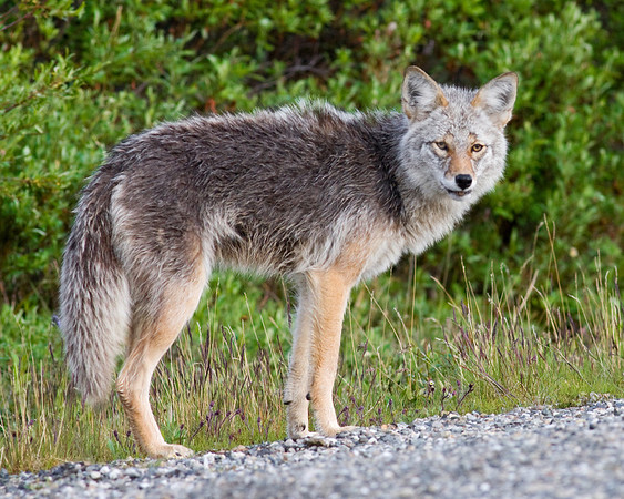 This photograph of a Coyote was captured just off the Denali National Parks Road  near the Savage River Bottom area of Denali National Park in Alaska (6/09).  This photograph is protected by the U.S. Copyright Laws and shall not to be downloaded or reproduced by any means without the formal written permission of Ken Conger Photography.