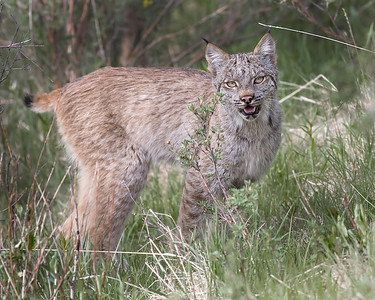 This photograph of a Lynx, who was one of a pair, was captured when they were seen hunting for hares near the Savage River Bottom area of Denali National Park in Alaska (6/09).  This photograph is protected by the U.S. Copyright Laws and shall not to be downloaded or reproduced by any means without the formal written permission of Ken Conger Photography.