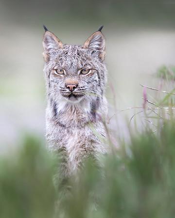 Denali Lynx