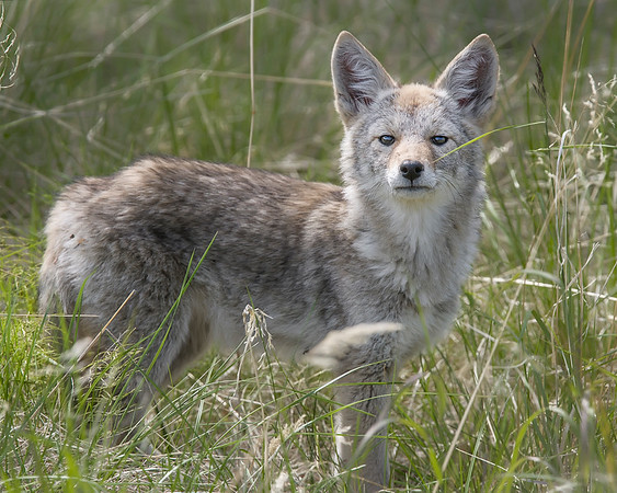 This young Coyote photograph was captured just north of Denali National Park, Alaska (6/10).     This photograph is protected by the U.S. Copyright Laws and shall not to be downloaded or reproduced by any means without the formal written permission of Ken Conger Photography.