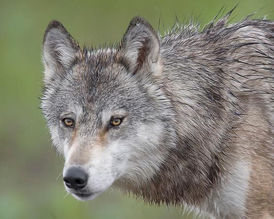 Denali National Park Wolf