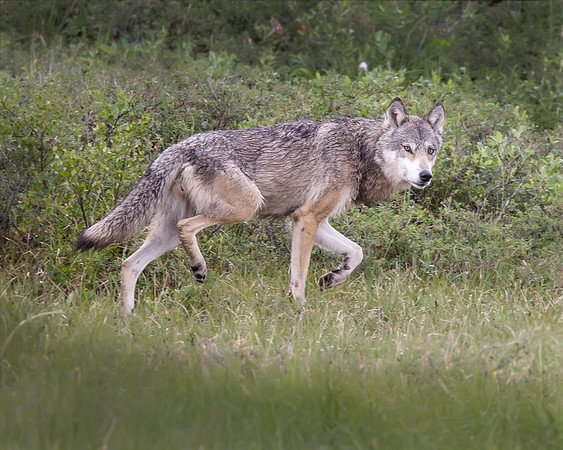 This Wolf photograph was captured off of the the park road in Denali National Park, Alaska (6/10).     This photograph is protected by the U.S. Copyright Laws and shall not to be downloaded or reproduced by any means without the formal written permission of Ken Conger Photography.