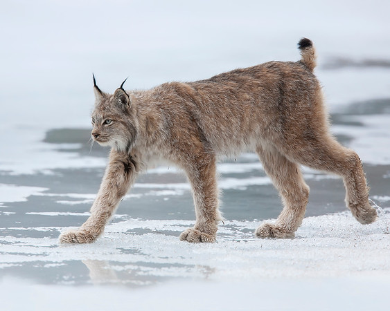 Denali National Park Lynx