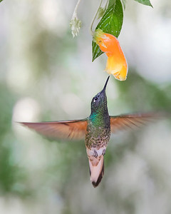 Chestnut-breasted Coronet Hummingbird from Ecuador