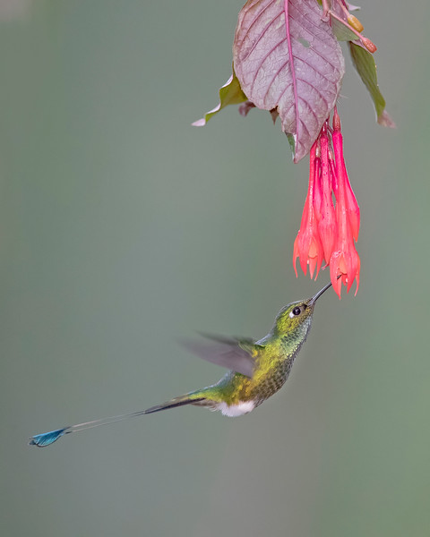 Booted Racket-tail Hummingbird from Ecuador